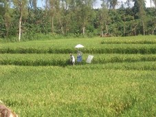 2.3 hectare rice farm for sale with clean title