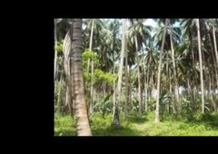 2 hectares coconut farm banay2 davao oriental